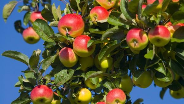 Apfelbaum, Südtirol, Italien