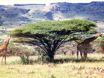 Giraffen im Ithala Game Reserve in Südafrika, AP
