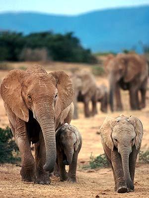 Eine Elefantenherde wandert durch den Addo National Park, dpa