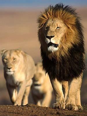 Ein männlicher Löwe führt seine