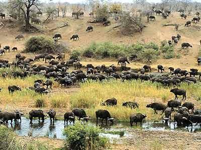 Eine Büffelherde steht an einem Wasserloch im afrikanischen Krueger-Nationalpark, ddp