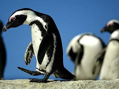 Pinguine bei Kapstadt, dpa