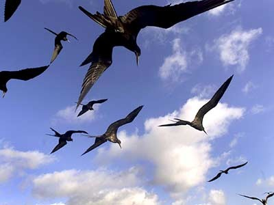 Fregattvögel, AP
