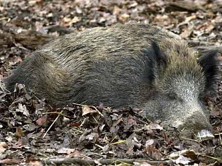 Wildschwein schlafend; Foto: dpa