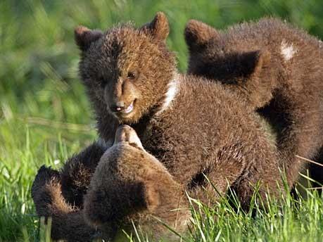 Braunbären, vier Monate alt, in Poing; Foto: dpa
