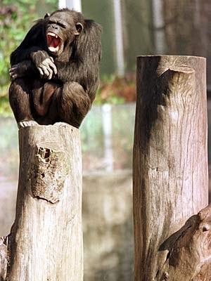 Schimpanse im Hannover Zoo; Foto: AP