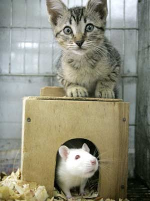 Katze und Ratte, Foto: AP