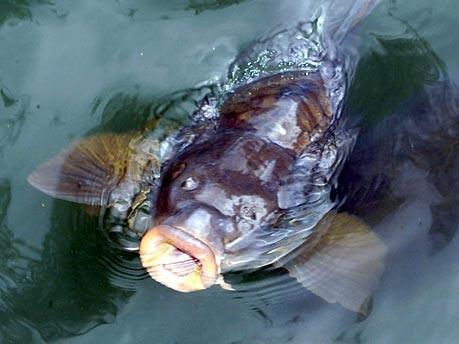 Karpfen im Teich; Foto: AP