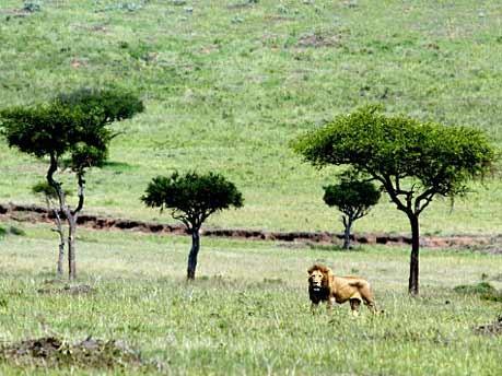 Löwe Nationalpark Kenya; Foto: Reuters