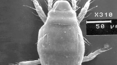 Serie: Bio bizzar (1): Die Milben, hier ein Vertreter von Adactylidium, haben die wohl kürzeste Jugend der Welt.