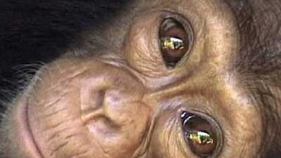 Altruismus im Tierreich: Schimpansen können auch fremden gegenüber selbstlos handeln.