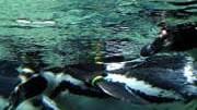 Tierwelt: Total verliebt: Schwule  Humboldtpinguine im Bremerhavener Zoo