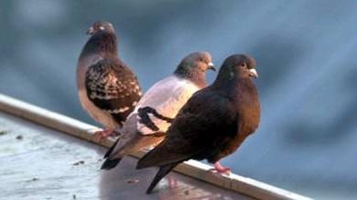 Tauben: Keine Geheimnisträger mehr: Tauben lassen sich offenbar über Partikel im Schnabel leiten.