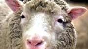 Klon-Schaf Dolly