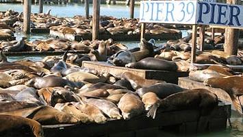 Seelöwen an Pier 39 in San Francisco