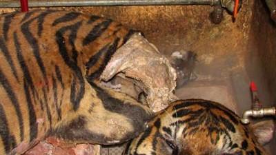 Tiger, Vietnam, Reuters