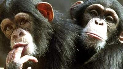 Schimpansen; dpa