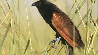 Grillkuckuck, Ornithologie, Weibchen, Testosteron