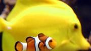 Clownfisch, ddp