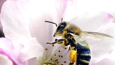 Rätselhaftes Phänomen: In den USA sterben die Bienen - in Deutschland (noch) nicht.