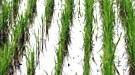 Gentechnisch veränderter Reis in den USA