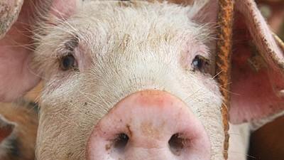 dpa, Schwein, Monsanto, Schnitzel, greenpeace