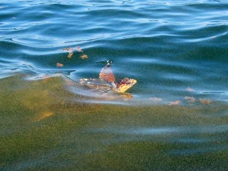 Wasserschildkröte  AFP