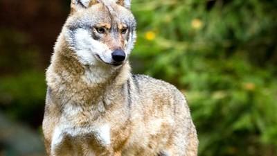 Wolf, dpa