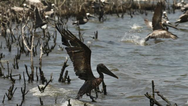 AP, Pelikan, Ölpest, Golf von Mexiko, Obama, Katastrophe