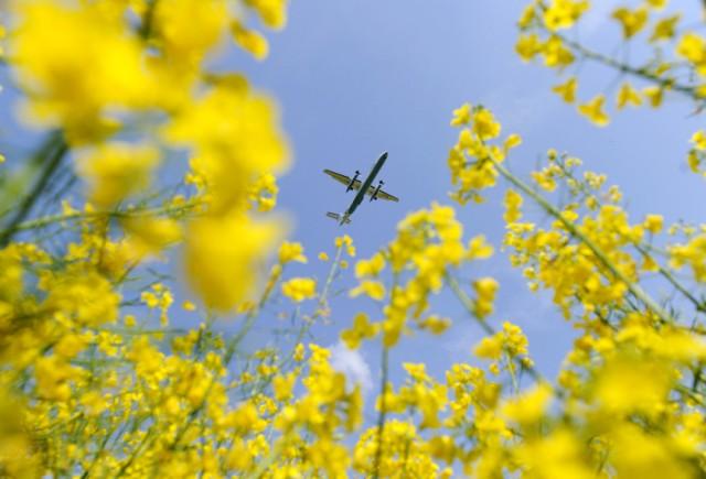 Landeanflug über Rapsfeld