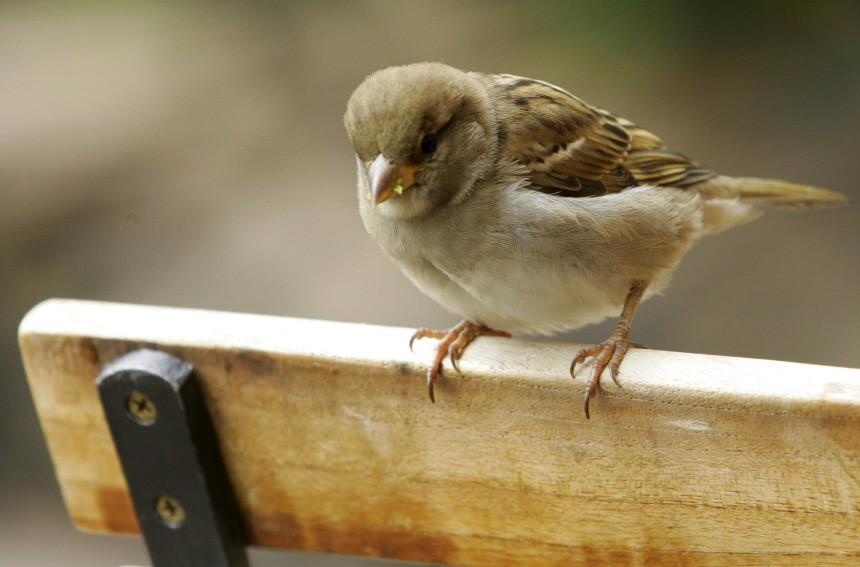 Themendienst Tiere: Anpassungsfaehiger Allerweltsvogel