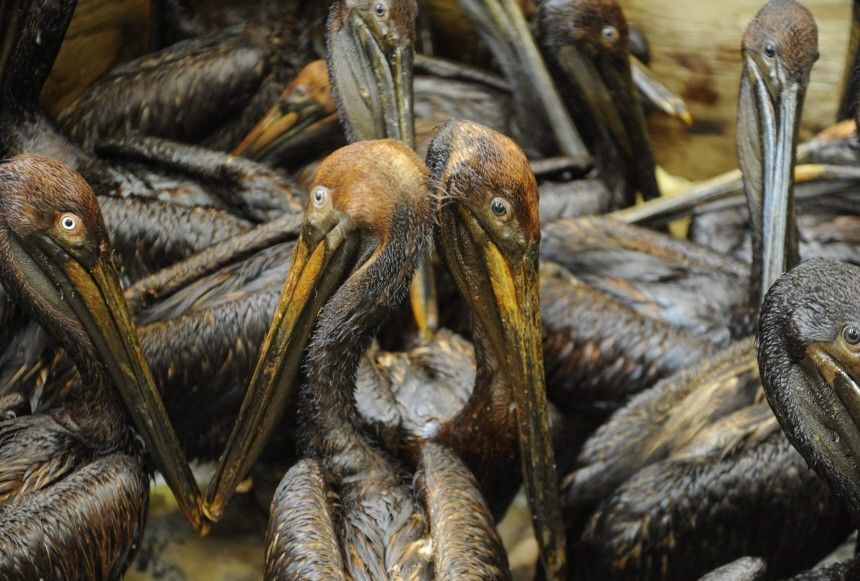 Ölpest im Golf von Mexico - Reinigung ölverschmutzer Pelikane