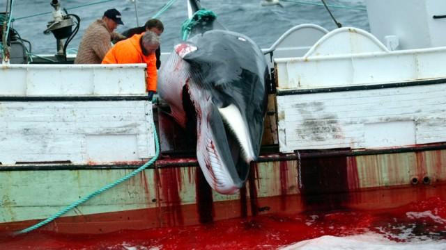 Entscheidung im Bundestag: Island, Japan und Norwegen wollen auf das Töten von Walen nicht verzichten. Die Internationale Walfangkommission IWC möchte ihnen deshalb einen Kompromiss anbieten. Deutschland ist dagegen.