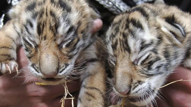 Bengalische Tigerbabys, ddp