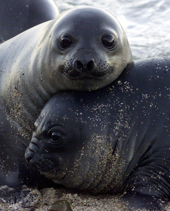 SOUTHERN ELEPHANT SEAL PUPS REST ON PATAGONIAN BEACH IN ARGENTINA