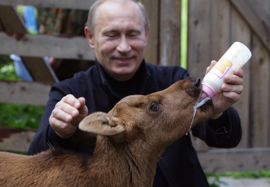 Putin füttern ein Kälbchen