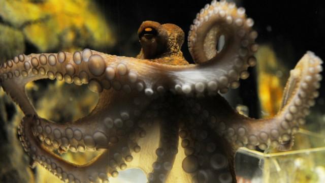 Oktopus Paul tippt auf Sieg der deutschen Nationalelf gegen Argentinien
