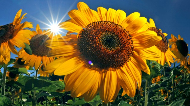 Sonnenblumen im Sonnenschein