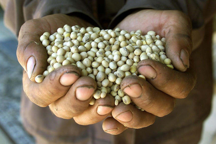 A Romanian farmer shows genetically modified soybeans in the village of Varasti