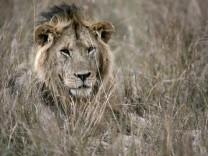 Serengeti trocknet aus - Löwe im Masai Mara Nationalpark