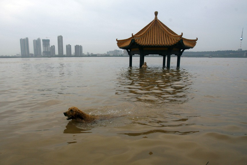 A dog swims at a park flooded by the swollen Yangtze River in Wuhan