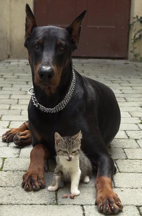 Dobermann und Katze
